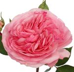 PANTONE: light pink