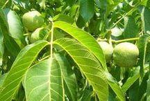 gyógyìtó növények