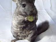 South American Chinchilla