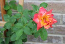My 2014 Texas Roses