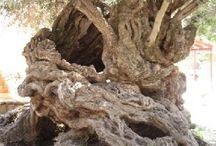 Kreta drzewo oliwkowe