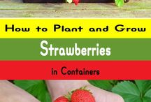Strawberries