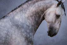 lusinato horse