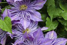 Flowers - Clemetis