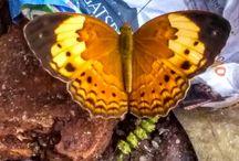 Indonesia Species Butterflies