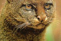 jaguarundi endangered