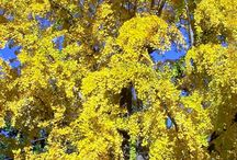 Ginkgo Trees / Anything and everything about Ginkgo Trees. Learn more about this magnificent tree: http://ow.ly/N6YgQ