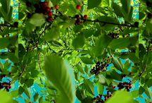 in the cherry tree