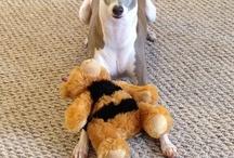 greyhounds, whippets, italian greyhound