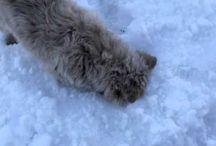 Mudi, az ősi magyar kutya