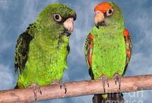 Jardine Parrot