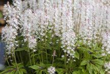Shade Gardenig / Flowers