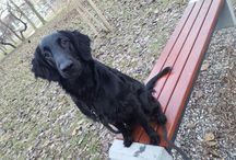 Flat Coated Retriver / All Pictures of my dog Teddy - Flat Coated Retriver