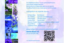 Delphinium Kissi