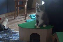 Видео котят Vijuha cattery