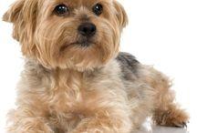 hundar terrier