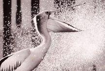 Pelicans natures supermodels / Such marvelous creatures