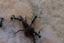 Formigues / Ants / Ants at home