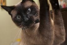 Guarulhos / Olhar Felino com o gato Joshi