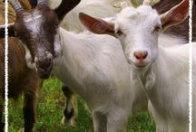 Goats for Reeves Farm