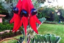 Australian Wildflowers / Wildflower Photos by Lynette Weir