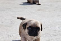 Pugs / by Brandy Hylton