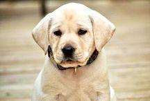 Labrador ♥♥♥