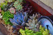 Gardening / Succulents