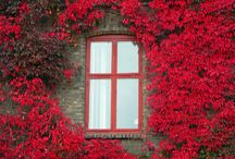 Rose, Scarlet, Crimson, French Beauty / Deep roses, reds, vibrant  decor art beauty