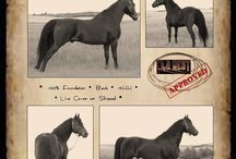 Coyote Flat Ranch - Morgan Horses / Breeding Foundation & Western Working Morgan horses since 1995.  Our reference stallion is S Bar B Chingadero (H-Saracen x SB WindRiver Wendy).  Our mares are all proven and used under saddle before being bred.  They excel in Reining, Cutting, Roping, Ranch Work, Cowboy Dressage, etc  For more info find us on Facebook or www.coyoteflatranch.com Lisa Hammel of Macklin, Saskatchewan Canada