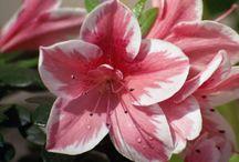 Flowers - Azalea