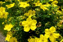 Potentilla bushes / Variations of Potentillas