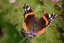 Butterflies in our garden / All pictures are created and owned by Gerrit Dunnewold @GBDunnie