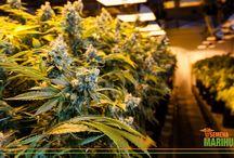 Blog / Na blogu Semena-Marihuany.cz se pravidelně věnujeme článkům ze světa léčebného konopí, nových studijních poznatků a potencionálního léčebného využití konopí.