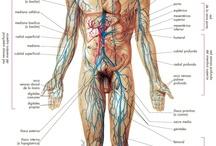 Anatomía sistema venoso