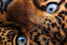Tigri-ghepardi...
