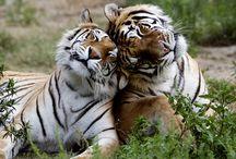 leeuwen,luipaarden en tijgers