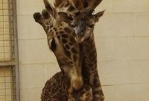 LOVE GIRAFFES!! / Giraffes!!  / by Debbie Campbell