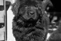 ニューファンドランド犬
