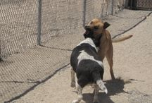 Delilah (aka La Vaquita) & Oliver / Doggie roommates at C.A.R.E. sharing an afternoon of fun and R&R