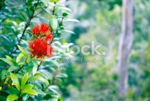Rata Stock Photography / Simply Stunning Rata in Bloom.... another essence of New Zealand....