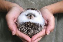 Hedgehog the Spotlight