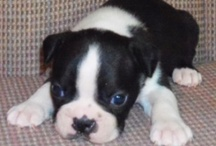 Winston  / Boston Terrier  / by Skeet Starr