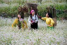 Ha Giang, Vietnam / flower triangular circuit
