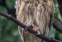 Long-eared owl, Ransuil