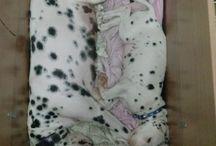 Kero / My little dalmatian.