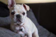 Lovely Bulldog