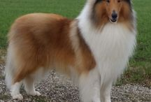 Scout The Collie