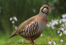 keklik partridge