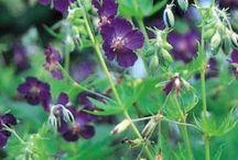 Storkenæb Geranium